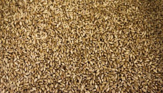 Organic Wheat Grain image